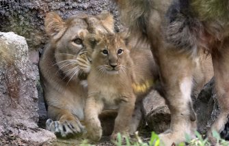 """ROME, ITALY - JULY 10: Two baby lions play in front of their mother """"Sajani"""" and lion father """"Ravi"""" (half covered) at the Bioparco on July 10, 2020 in Rome, Italy. The newborn Asiatic Lions (Panthera Leo Persica) female are born on April 29. (Photo by Elisabetta A. Villa/Getty Images)"""