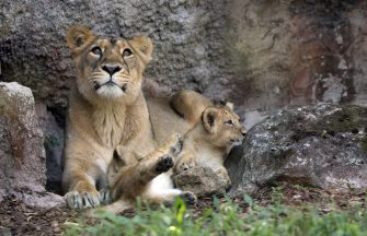 ROME, ITALY - JULY 10: Lion cubs play with their mother Sajani, a lioness at Bioparco zoological gardens on July 10, 2020 in Rome, Italy. Two Asiatic Lions (Panthera Leo Persica) female are born on April 29. (Photo by Elisabetta A. Villa/Getty Images)