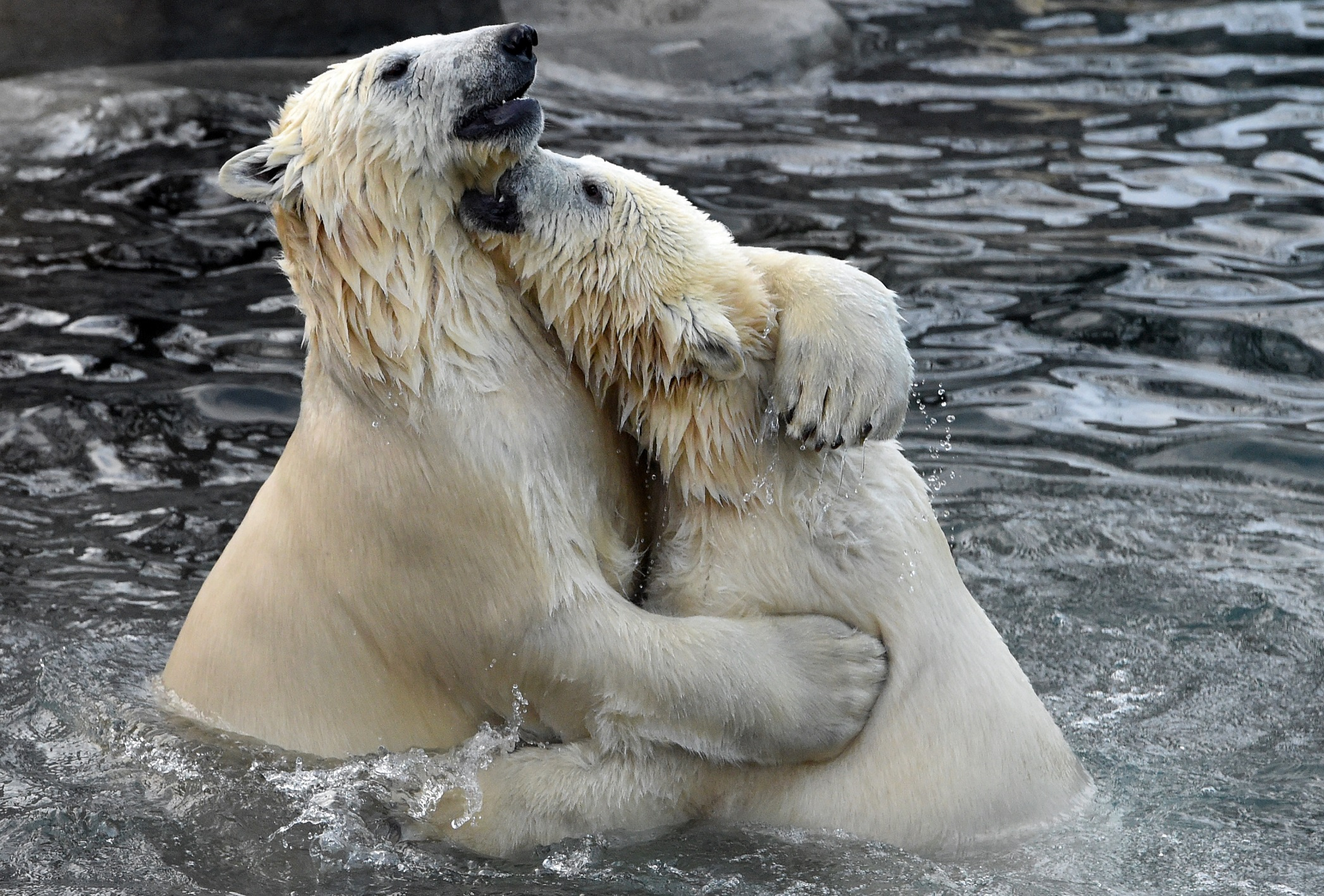 Two polar bears play in the water in their enclosure at Moscow's zoo on December 10, 2015. / AFP / VASILY MAXIMOV        (Photo credit should read VASILY MAXIMOV/AFP via Getty Images)