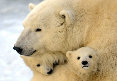 A mother polar bear plays with two of her three cubs born in  last November, at the Moscow Zoo, on March 22, 2012.  AFP PHOTO / ANDREY SMIRNOV (Photo credit should read ANDREY SMIRNOV/AFP via Getty Images)