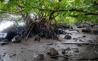 A picture taken on August 15, 2020 shows stained mangroves at the beach in Petit Bel Air, due to the oil leaked from vessel MV Wakashio, belonging to a Japanese company but Panamanian-flagged, that ran aground near Blue Bay Marine Park off the coast of south-east Mauritius. - A fresh streak of oil spilled on August 14, 2020, from a ship stranded on a reef in pristine waters off Mauritius, threatening further ecological devastation as demands mount for answers as to why the vessel had come so close to shore. (Photo by Fabien Dubessay / AFP) (Photo by FABIEN DUBESSAY/AFP via Getty Images)