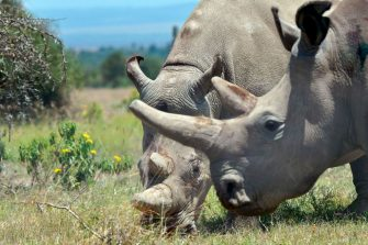 Najin (background), 30, and her offspring Fatu, 19, two female northern white rhinos, the last two northern white rhinos left on the planet, graze in their secured paddock on August 23, 2019 at the Ol Pejeta Conservancy in Nanyuki, 147 kilometres north of the Kenyan capital, Nairobi. - Veterinarians have successfully harvested eggs from the last two surviving northern white rhinos, taking them one step closer to bringing the species back from the brink of extinction, scientists said in Kenya on August 23. Science is the only hope for the northern white rhino after the death last year of the last male, named Sudan, at the Ol Pejeta Conservancy in Kenya where the groundbreaking procedure was carried out August 22, 2019. (Photo by TONY KARUMBA / AFP) (Photo by TONY KARUMBA/AFP via Getty Images)