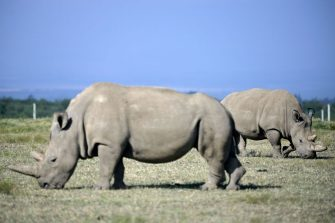 Fatu (background), 19, and her mother Najin, 30, two female northern white rhinos, the last two northern white rhinos left on the planet, graze in their secured paddock on August 23, 2019 at the Ol Pejeta Conservancy in Nanyuki, 147 kilometres north of the Kenyan capital, Nairobi. - Veterinarians have successfully harvested eggs from the last two surviving northern white rhinos, taking them one step closer to bringing the species back from the brink of extinction, scientists said in Kenya on August 23. Science is the only hope for the northern white rhino after the death last year of the last male, named Sudan, at the Ol Pejeta Conservancy in Kenya where the groundbreaking procedure was carried out August 22, 2019. (Photo by TONY KARUMBA / AFP) (Photo by TONY KARUMBA/AFP via Getty Images)