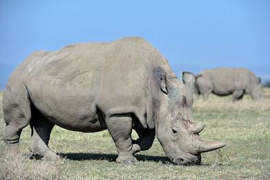 Torino, arriva al bioparco il rinoceronte bianco