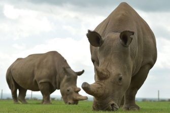 Najin (L) and Fatu, the only two remaining female northern white rhinos graze in their paddock on March 20, 2018 at the ol-Pejeta conservancy in Nanyuki, north of capital Nairobi. Sudan, the last male northern white rhino, has died in Kenya at the age of 45, after becoming a symbol of efforts to save his subspecies from extinction, a fate that only science can now prevent.  / AFP PHOTO / TONY KARUMBA        (Photo credit should read TONY KARUMBA/AFP via Getty Images)