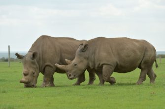 Najin (L) and Fatu, two of the only remaining female northern white rhino graze together in their paddock on March 20, 2018 at the ol-Pejeta conservancy in Nanyuki, north of capital Nairobi. Sudan, the last male northern white rhino, has died in Kenya at the age of 45, after becoming a symbol of efforts to save his subspecies from extinction, a fate that only science can now prevent.  / AFP PHOTO / TONY KARUMBA        (Photo credit should read TONY KARUMBA/AFP via Getty Images)