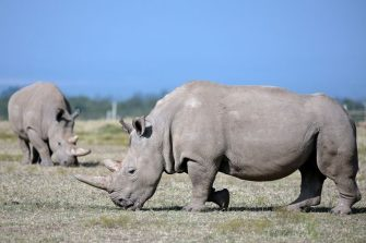 Najin (foreground), 30, and her offspring Fatu, 19, two female northern white rhinos, the last two northern white rhinos left on the planet, graze in their secured paddock on August 23, 2019 at the Ol Pejeta Conservancy in Nanyuki, 147 kilometres north of the Kenyan capital, Nairobi. - Veterinarians have successfully harvested eggs from the last two surviving northern white rhinos, taking them one step closer to bringing the species back from the brink of extinction, scientists said in Kenya on August 23. Science is the only hope for the northern white rhino after the death last year of the last male, named Sudan, at the Ol Pejeta Conservancy in Kenya where the groundbreaking procedure was carried out August 22, 2019. (Photo by TONY KARUMBA / AFP) (Photo by TONY KARUMBA/AFP via Getty Images)