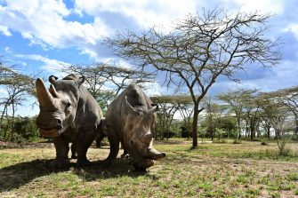 A picture taken on May 28, 2019 shows the world's last female pair of northern white Rhinoceros, Najin (L) with her daughter Fatu in their enclosure at Ol-Pejeta conservancy at Laikipia's county headquarters, Nanyuki. - Ol-Pejeta, a private conservancy on Kenya's Laikipia plateau that shelters, among other endangered giants, the only two northern white rhinos left anywhere on earth, launched what it calls the world's first wildlife tech lab, that develops the latest technological weaponry to combat poaching. (Photo by TONY KARUMBA / AFP)        (Photo credit should read TONY KARUMBA/AFP via Getty Images)