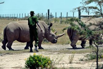 Fatu (L), 19, files along behind her mother Najin, 30, as they are led back to pasture by a caretaker August 23, 2019 at the ol-Pejeta conservancy in Nanyuki, 147 kilometres north of Kenyan capital, Naironi. - Veterinarians have successfully harvested eggs from the last two surviving northern white rhinos, taking them one step closer to bringing the species back from the brink of extinction, scientists said in Kenya on August 23. Science is the only hope for the northern white rhino after the death last year of the last male, named Sudan, at the Ol Pejeta Conservancy in Kenya where the groundbreaking procedure was carried out August 22, 2019. (Photo by TONY KARUMBA / AFP) (Photo by TONY KARUMBA/AFP via Getty Images)