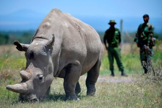 Najin, 30, and her offspring Fatu (unseen), 19, two female northern white rhinos, the last two northern white rhinos left on the planet, graze in their secured paddock on August 23, 2019 at the Ol Pejeta Conservancy in Nanyuki, 147 kilometres north of the Kenyan capital, Nairobi. - Veterinarians have successfully harvested eggs from the last two surviving northern white rhinos, taking them one step closer to bringing the species back from the brink of extinction, scientists said in Kenya on August 23. Science is the only hope for the northern white rhino after the death last year of the last male, named Sudan, at the Ol Pejeta Conservancy in Kenya where the groundbreaking procedure was carried out August 22, 2019. (Photo by TONY KARUMBA / AFP) (Photo by TONY KARUMBA/AFP via Getty Images)