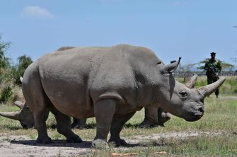 Najin (foreground), 30, and daughter Fatu, 19, two female northern white rhinos, the last two northern white rhinos left on the planet, graze in their secured paddock on August 23, 2019 at the Ol Pejeta Conservancy in Nanyuki, 147 kilometres north of the Kenyan capital, Nairobi. - Veterinarians have successfully harvested eggs from the last two surviving northern white rhinos, taking them one step closer to bringing the species back from the brink of extinction, scientists said in Kenya on August 23. Science is the only hope for the northern white rhino after the death last year of the last male, named Sudan, at the Ol Pejeta Conservancy in Kenya where the groundbreaking procedure was carried out August 22, 2019. (Photo by TONY KARUMBA / AFP) (Photo by TONY KARUMBA/AFP via Getty Images)