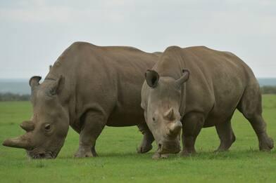 Kenya, i ricercatori provano a salvare il rinoceronte bianco del Nord