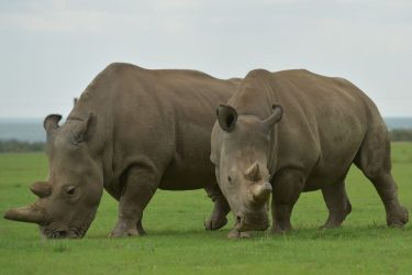 (L-R): Najin and Fatu, the two remaining Nothern White Rhino graze together in their paddock ON March 20, 2018 at the ol-Pejeta conservancy in Nanyuki.  Sudan, the last male northern white rhino, has died in Kenya at the age of 45, after becoming a symbol of efforts to save his subspecies from extinction, a fate that only science can now prevent. / AFP PHOTO / TONY KARUMBA        (Photo credit should read TONY KARUMBA/AFP via Getty Images)