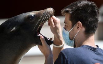 A trainer wearing a protective mask looks into the mouth of a sea lion, in the zoo of the French western city of La Fleche, on May 23, 2020, after the country eased lockdown measures taken to curb the spread of the COVID-19 pandemic, caused by the novel coronavirus. (Photo by Jean-Francois MONIER / AFP) (Photo by JEAN-FRANCOIS MONIER/AFP via Getty Images)
