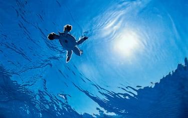 Ocean indien - Ile au nord de Madagascar Tortue verte ( Chelonia mydas). Après l'éclosion des oeufs, un bébé tortue a réussi à atteindre la mer. Mais seuls 2% d'entre eux survivent : il leur faut éviter les crabes, les frégates, les requins, pour espérer devenir un jour des tortues adultes. Cette espèce peut atteindre  1 mètre 80 pour 150 kilos. La femelle est mature de 10 à 40 ans. La femelle peut pondre une centaine d'oeufs jusqu'a cinq fois par an, en général sur la plage où elle est née. La tortue verte ( Chelonia Mydas ) fait partie des espèces en danger. Particulièrement menacée, depuis 1994  elle est inscrite sur la RED LIST (www.redlist.org).
