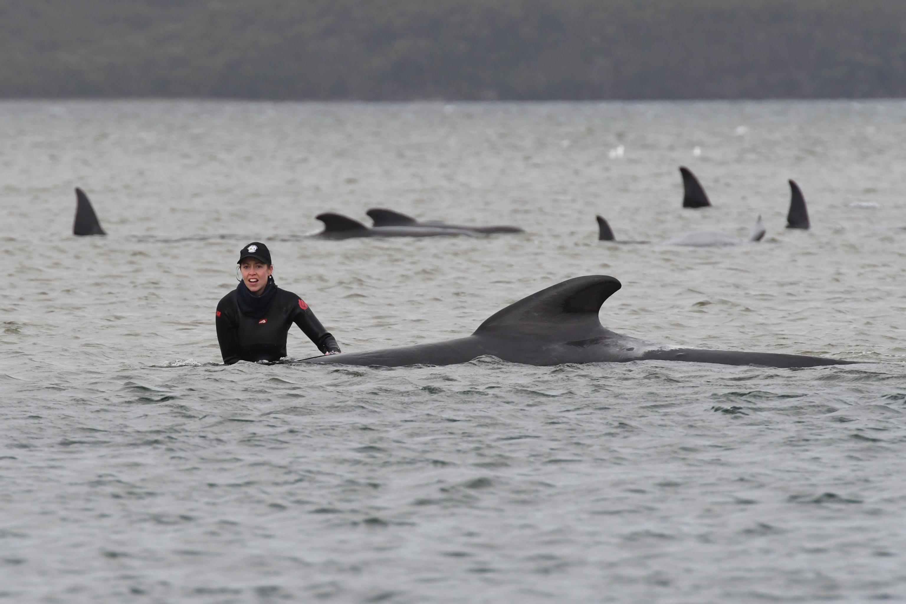 epaselect epa08687623 A person stands next to a stranded pilot whale at Macquarie Harbour, Tasmania, Australia, 22 September 2020. A large rescue mission to save approximately 270 pilot whales has begun. According to reports 90 whales have perished.  EPA/BRODIE WEEDING / POOLL AUSTRALIA AND NEW ZEALAND OUT