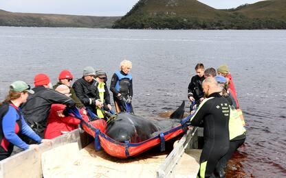 Balene spiaggiate in Tasmania, le operazioni di salvataggio. LE FOTO