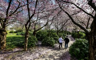 "Strollers walk past blooming cherry trees on March 23, 2014 at the ""Planten un Blomen"" park in Hamburg, northern Germany.             AFP PHOTO / DPA / ULRICH PERREY / GERMANY OUT        (Photo credit should read ULRICH PERREY/DPA/AFP via Getty Images)"
