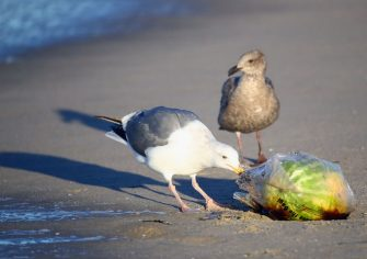 VENICE BEACH, CA - JANUARY 30:  A seagull pecks at a plastic bag just off the coast of California on January 30, 2017 in Venice Beach, California.  (Photo by Bruce Bennett/Getty Images)