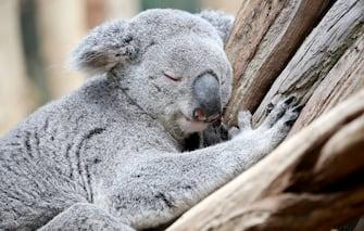 Male koala Oobi-Oobie takes a nap on a tree in the new Koala House at the zoo in Leipzig,