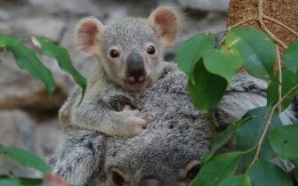 Earlier in the year, RZSS Edinburgh Zoo keepers announced the birth of a joey in Koala Territory, and now the newest resident is starting to emerge and delight visitors who are lucky enough to catch a glimpse.     Born on 31 January to mum Alinga and father Goonaroo, the new arrival to the UKâ  s only group of koalaâ  s was still curled up inside mumâ  s pouch until very recently; however, the joey is growing fast and was photographed as it ventured out of the pouch for the first time this week.  Featuring: Koala Where: Edinburgh, Scotland, United Kingdom When: 20 Aug 2017 Credit: RZSS/Supplied by WENN.com  **WENN does not claim any ownership including but not limited to Copyright, License in attached material. Fees charged by WENN are for WENN's services only, do not, nor are they intended to, convey to the user any ownership of Copyright, License in material. By publishing this material you expressly agree to indemnify, to hold WENN, its directors, shareholders, employees harmless from any loss, claims, damages, demands, expenses (including legal fees), any causes of action, allegation against WENN arising out of, connected in any way with publication of the material.**