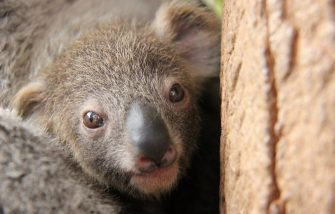 """TARONGA CELEBRATES SEASONâ  S FIRST KOALA JOEY   Taronga Zoo in Australia is celebrating the arrival of its first koala joey for this yearâ  s breeding season, with a tiny face starting to emerge from its motherâ  s pouch. The female joey has been spotted mouthing its first eucalyptus leaves and tentatively exploring the world outside the pouch to the delight of keepers and visitors. At six months old, the joey will continue to gain weight and the fluffy fur for which koalas are known. She will spend at least another four months with her mother before venturing out on her own. Tour groups have begun meeting Wanda and her joey at Tarongaâ  s Koala Encounter, where they learn more about one of Australiaâ  s most iconic species and how they are under threat from urban development and forestry breaking up their natural habitat. Part of Tarongaâ  s koala breeding program, the yet-to-be-named joey is the third for experienced mother, Wanda, and the first born at the Zoo this breeding season. Koala Keeper, Laura Jones said: """"Sheâ  s still quite shy, but weâ  re beginning to see her little face more and more. Wanda is a very relaxed and attentive mum. She keeps her little one nice and close at all times and Iâ  ve never seen her complain when the joey is scratching around with its claws inside her pouch.â     Credit: Taronga Zoo/WENN.com  Where: Mosman, New South Wales, Australia When: 12 Jun 2015 Credit: Taronga Zoo/WENN.com  **WENN does not claim any ownership including but not limited to Copyright, License in attached material. Fees charged by WENN are for WENN's services only, do not, nor are they intended to, convey to the user any ownership of Copyright, License in material. By publishing this material you expressly agree to indemnify, to hold WENN, its directors, shareholders, employees harmless from any loss, claims, damages, demands, expenses (including legal fees), any causes of action, allegation against WENN arising out of, connected in any way with publication"""