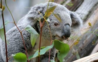 Male koala and Euro 2016 oracle Oobi-Oooobi eats eucalyptus at the zoo in Leipzig, Germany, 15 June 2016. Photo: Jan Woitas/dpa