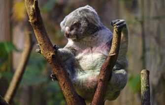 A koala bear sits on a tree branch in its encloser at the zoo in Duisburg, Germany, 29 January 2015. Photo: Horst Ossinger/dpa - NO WIRE SERVICE -