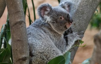 17 April 2019, Saxony, Dresden: The koala female Sydney sits on a tree in her enclosure in the Prof. Brandes house in the zoo. The almost two-year-old female came from Antwerp Zoo to Dresden. Photo: Robert Michael/dpa-Zentralbild/dpa