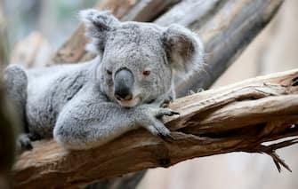 Male koala and Euro 2016 oracle Oobi-Oooobi lies on a branch at the zoo in Leipzig, Germany, 15 June 2016. Photo: Jan Woitas/dpa