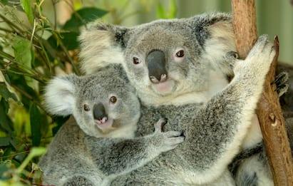 I koala australiani a rischio estinzione prima del 2050