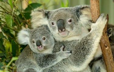 Vittoria degli animalisti, il koala inserito tra le specie protette