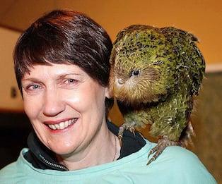 Nuova Zelanda, il pappagallo più grasso eletto uccello dell'anno
