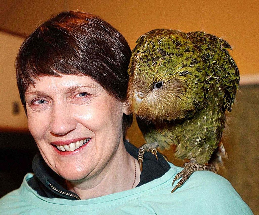 AUCKLAND, NEW ZEALAND:  New Zealand Prime Minister Helen Clark carries on her shoulder an 11-week-old kakapo chick named Marama, during her visit to Burwood Bush, the Department of conservation's hatchery near Te Anau, New Zealand, 25 May 2002.  Kakapo,  (strigops habroptilus) is a nocturnal owl-like flightless birds that climb trees, remains an endangered species but has been saved from extinction as Prime Minister Clark announced a 39 percent rise in the bird's population over the just-ended bredding season.   AFP PHOTO/Barry HARCOURT (Photo credit should read BARRY HARCOURT/AFP via Getty Images)