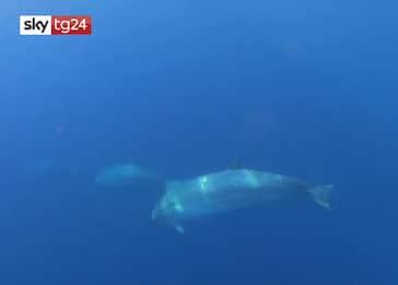 Una nuova specie di balena avvistata in Messico. VIDEO