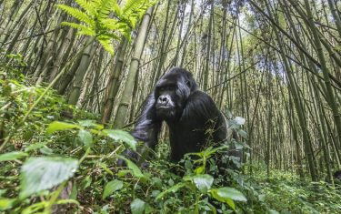 Gorilla HERO
