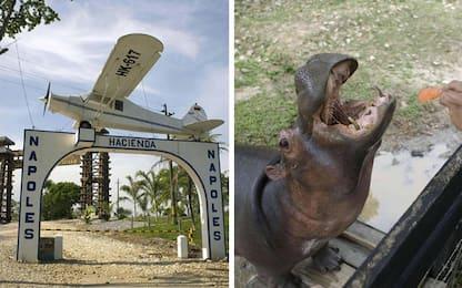Colombia, gli ippopotami di Escobar sono una minaccia per l'ambiente