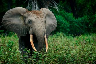 African forest elephant (Loxodonta cyclotis), Odzala-Kokoua National Park, Cuvette-Ouest Region, Republic of the Congo. (Photo by: Education Images/Universal Images Group via Getty Images)