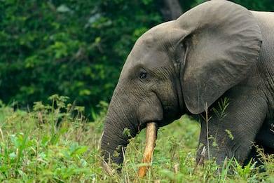 L'elefante africano delle foreste sull'orlo dell'estinzione. FOTO