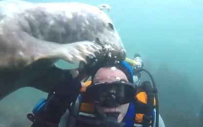Una foca gioca con la muta di un sub. VIDEO