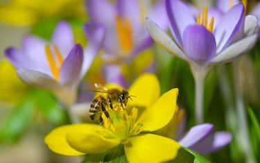 27 February 2019, Brandenburg, Sieversdorf: A bee crawls over the flower of a winterling. Photo: Patrick Pleul/dpa-Zentralbild/ZB