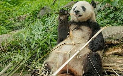La Cina rimuove i panda dalla lista delle specie a rischio