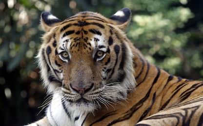 Giornata mondiale tigre 2021, Wwf: estinta in Laos, Cambogia e Vietnam