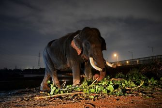 This picture taken on September 2, 2018 shows an elephant standing on the banks of the Yamuna River in New Delhi. - The mighty Heera marched through a crowded slum chewing bamboo, oblivious that freedom from life as one of Delhi's last six elephants at work in the polluted city could be just around the corner. After years of pressure from activists who accuse the animals' owners of flouting wildlife regulations by keeping them in a city, authorities have ordered the seizure of the elephants. (Photo by Sajjad HUSSAIN / AFP) / To go with INDIA-ANIMAL, FEATURE, by Isha Badoniya        (Photo credit should read SAJJAD HUSSAIN/AFP via Getty Images)