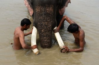 This picture taken on August 21, 2018 shows Indian mahouts washing their elephant in the Yamuna River in New Delhi. - The mighty Heera marched through a crowded slum chewing bamboo, oblivious that freedom from life as one of Delhi's last six elephants at work in the polluted city could be just around the corner. After years of pressure from activists who accuse the animals' owners of flouting wildlife regulations by keeping them in a city, authorities have ordered the seizure of the elephants. (Photo by Sajjad HUSSAIN / AFP) / To go with INDIA-ANIMAL, FEATURE, by Isha Badoniya        (Photo credit should read SAJJAD HUSSAIN/AFP via Getty Images)