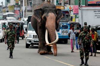 TOPSHOT - An Indian-born tusker (or bull elephant with large tusks) called Nadungamuwa Raja is being escorted by security personnel as he walks on a street on the outskirts of Colombo on September 21, 2019. - Nadungamuwa Raja, who presides over temple ceremonies in many parts of the country in addition to its duties of parading at the annual Esala pageant in the central city of Kandy, is usually provided an armed escort by the government for its safety. (Photo by LAKRUWAN WANNIARACHCHI / AFP) (Photo by LAKRUWAN WANNIARACHCHI/AFP via Getty Images)