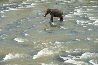 An elephant walks along a river during its daily bath at the Pinnawala Elephant Orphanage in Pinnawala, about 90 km from the capital Colombo on August 11, 2020. - World Elephant Day is celebrated every year on August 12 to spread awareness about the preservation and protection of elephants. (Photo by LAKRUWAN WANNIARACHCHI / AFP) (Photo by LAKRUWAN WANNIARACHCHI/AFP via Getty Images)