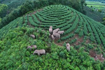 PU'ER, CHINA - AUGUST 07: An aerial view of a herd of wild Asian elephants strolling through a village at Ning'er Hani and Yi Autonomous County on August 7, 2021 in Pu'er, Yunnan Province of China. (Photo by Wang Zhengpeng/VCG via Getty Images)
