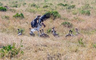 Marabou Stork feeding