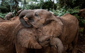 NAIROBI, KENYA: Elephants live socially complex, family-oriented lives and every orphan has their own unique personality and characteristics. The keepers encourage natural social dynamics to play out among the babies in their newly formed herd all the while filling in when needed as a guiding presence, peace-makers and rule enforcers. THESE IMAGES of humans bottle feeding and playing with baby elephants who have been orphaned by poaching are sure to melt your heart. The heart-warming series of pictures captured how staff at the Sheldrick Wildlife Trust in Nairobi, Kenya, dedicate their lives to hand rearing young elephants - from sleeping next to them in the same enclosure at night, to bottle feeding them to encourage bonding. Another image showed the inquisitive infant elephants, which will grow to between 5,000 to 14,000-pounds, playing with an umbrella whilst another showed them exploring the vegetation and trees of their surroundings. Elephants are extremely family orientated creatures and infants never stray further than 32-feet away from their mother or family members. The caretakers at the Sheldrick Wildlife Trust provide around the clock care to emulate the same love and bond the elephant would have with its family in the wild. The stunning pictures were taken in Nairobi, Kenya, by wildlife photographer Justin Mott (42) from Smithfield, Rhode Island, USA and form part of his Kindred Guardians series which shines a light on humans who dedicate their lives to wildlife conservation. Justin was lucky enough to spend three days with the elephants and caretakers at the Sheldrick Wildlife Trust ? an experience which he describes as ?magical?. Mediadrumimages/Justin Mott